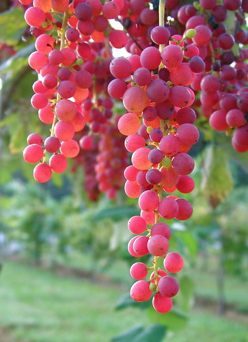 how to get grapes in township