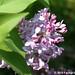 Lilacs! 7