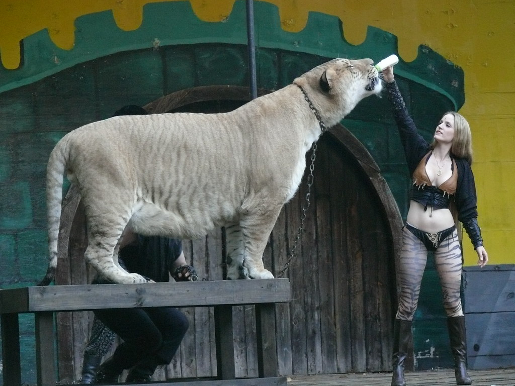 Hercules | Worlds biggest Liger weighing in at 900lbs