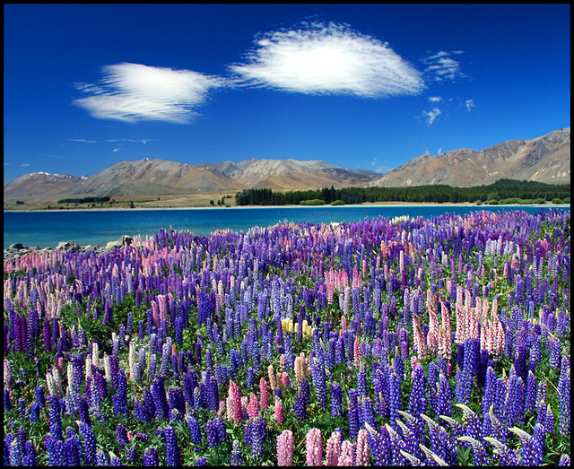 More lupins lake tekapo new zealand daniel murray for Landscape jobs nz