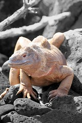Galapagos Land Iguana | by 4Call Photography & Graphics