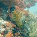 whitespotted filefish Cantherhines macrocerus