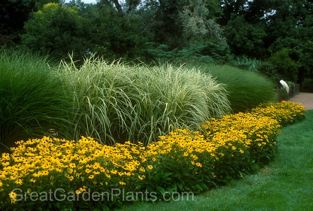 Ornamental grasses as a hedge flickr photo sharing for Ornamental grass with yellow flowers