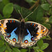 Blue Pansy, male