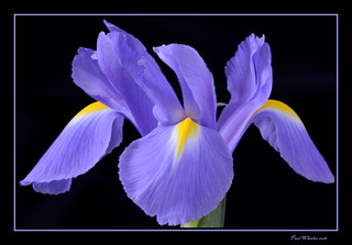 Iris - softly lit. | by Paul_Wheeler