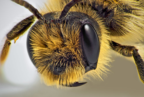 Bee Head | by kevincollins123