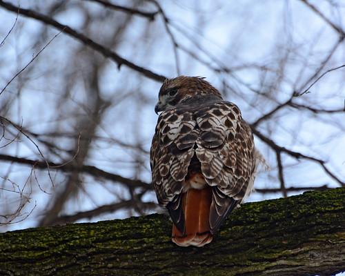 Hunting Hawk - 1235