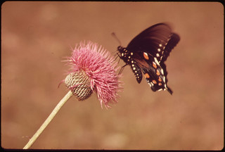 Milk Wort and Butterfly in the Texas Countryside, near San Antonio, 06/1973 | by The U.S. National Archives