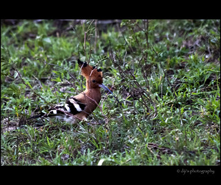 Common Hoopoe | by Diji's Photography