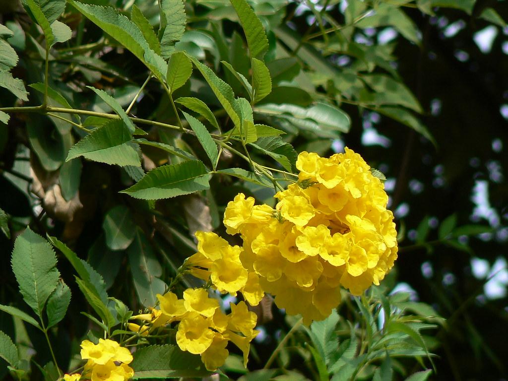 Tecoma Stans Bignoniaceae Bignonia Jacaranda Family