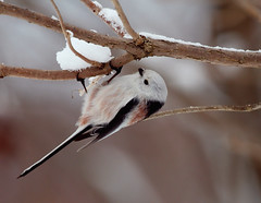 Long Tailed Tit | by Stu Price
