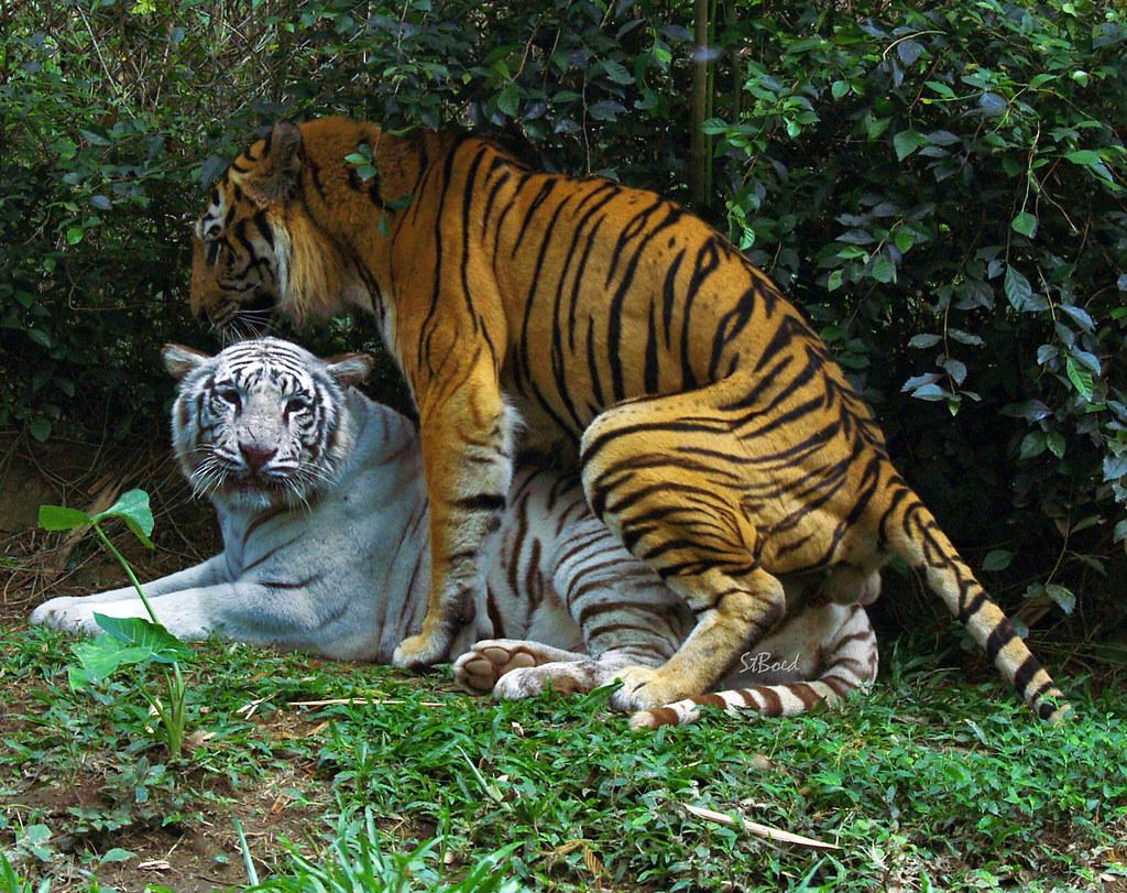 Tiger Not Mating  Budi Santoso  Flickr-6087