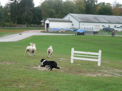 Sheep dog trial-3 | by treschic_veronique