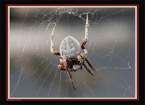 ORB  SPIDER | by ~~~Gasssman~~~
