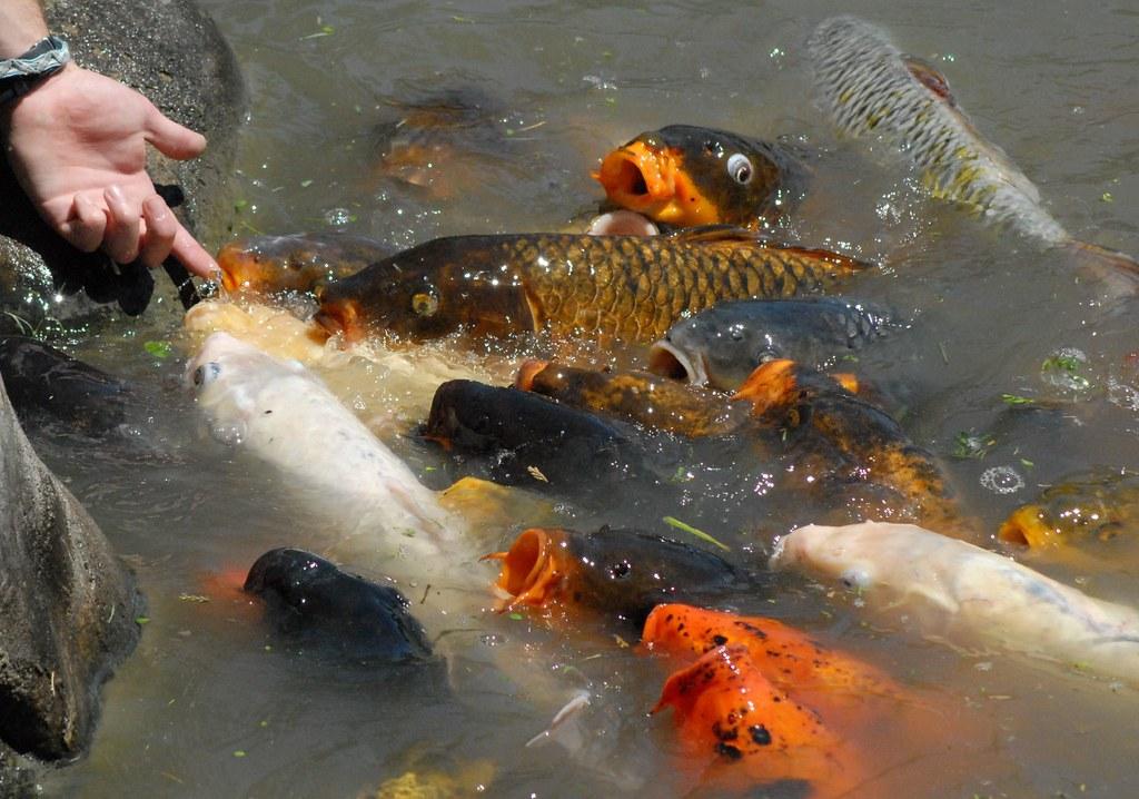 Fake feeding time koi fish jardin japones japanese for Artificial koi fish