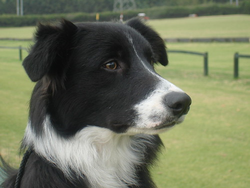 BORDER COLLIE AMMARDAM´S REV | by argosrev
