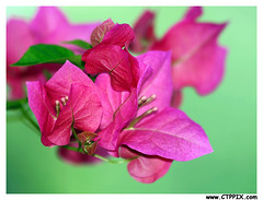 BOUGAINVILLEA | by CTPPIX.com