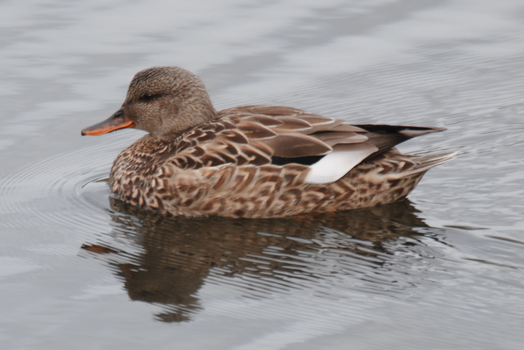 Female Gadwall   On the pond near the visitor's center ...