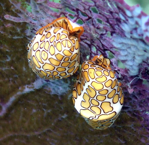 2008 Flamingo Tongue Snails | by dfinney23