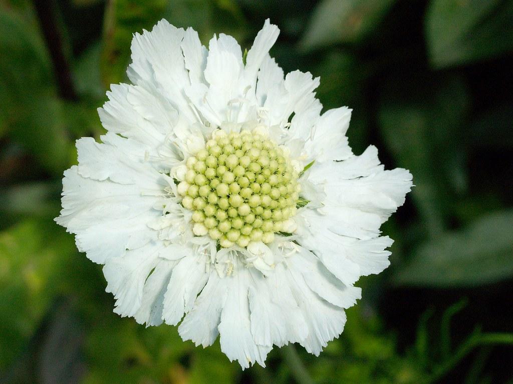 Scabiosa Columbaria White Pincushion Flower Teasel Famil Flickr