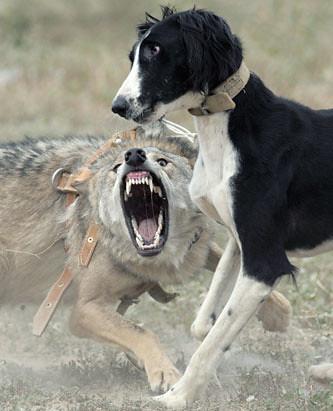 A Kyrgyz Taigan Dog Chases A Wolf A Kyrgyz Taigan Dog