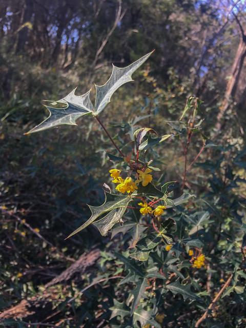 Blooming Agarita - 1