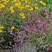 Salvia pomifera & Helianthus gracilientus