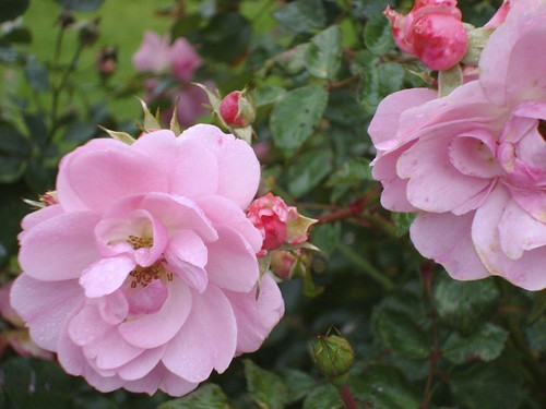 Rosa Bonica | by James's GW Blog