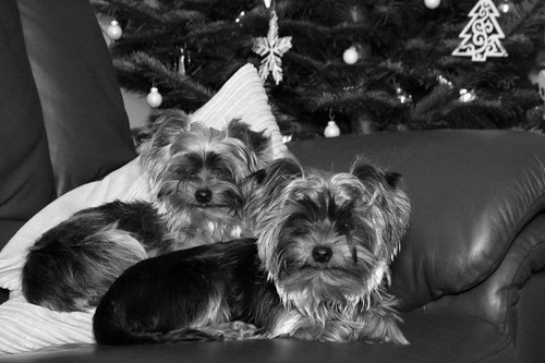 Black and white dogs | by ::Christine::