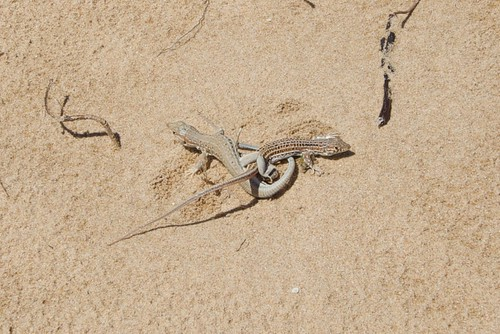 Lizards entwined | by Ben, Notes from Spain