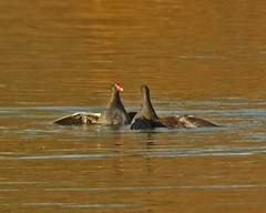 moorhens - locked in battle at hatfield forest lake | by Graeme J. Smith (blog.britainsbirder.co.uk)