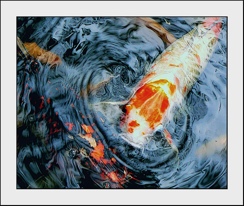 The world's oldest koi | by balcer17