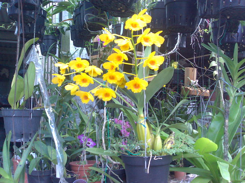 Den. 鼓鎚石确..香气濃..Dendrobium chrysotoxum