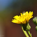 Dandelion Flower with buds