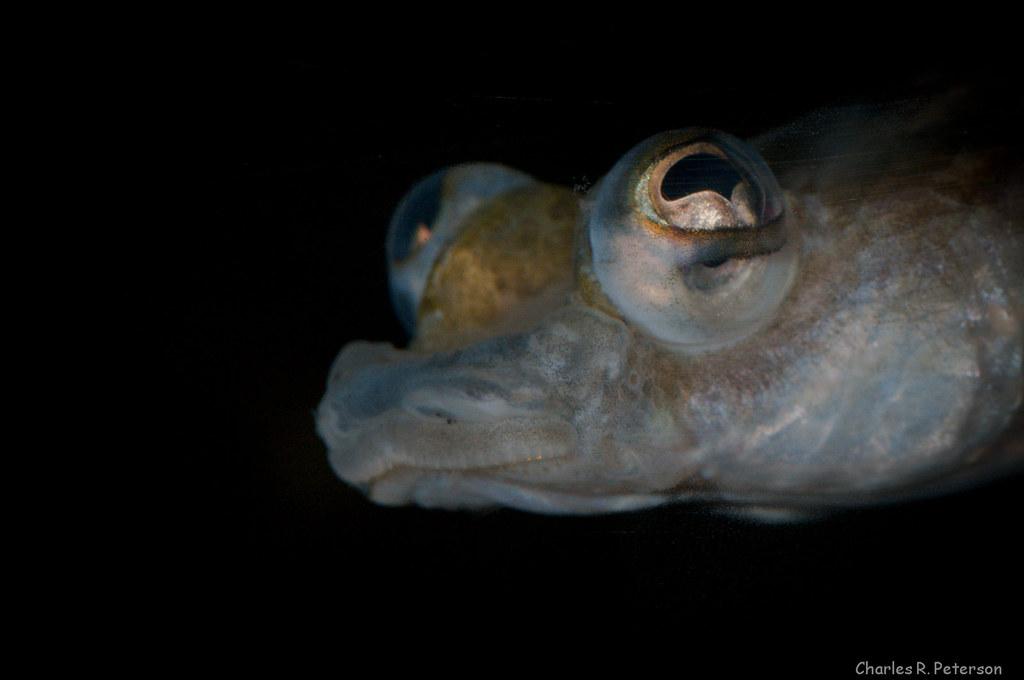 Four Eyed Fish Anableps Sp Living Planet Aquarium