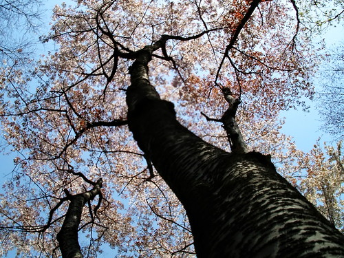 Cherry tree | by Blue Lotus