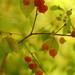 Surinam Cherries