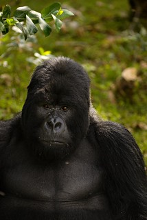 Rwanda Mountain Gorillas _DSC14432 | by youngrobv
