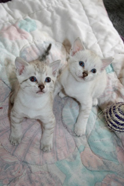 best flea remedies for cats