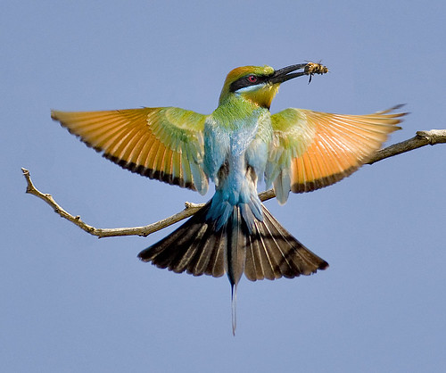 Rainbow Bee-eater | by scuze a me