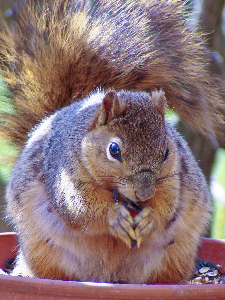 Very Pregnant Fox Squirrel Easily Identifiable Because