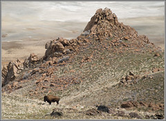 Bison On Antelope Island | by Photo-John