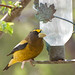 Evening Grosbeak 02