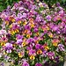 Pansies at USBG