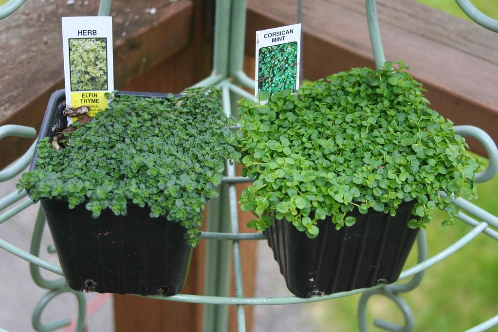 Elfin Thyme And Corsican Mint Dwarf Herbs Corsican Mint