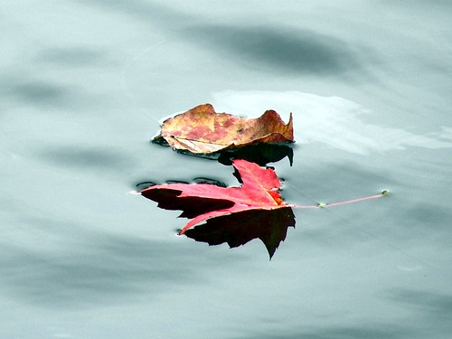 Leaves on river | by rstrawser