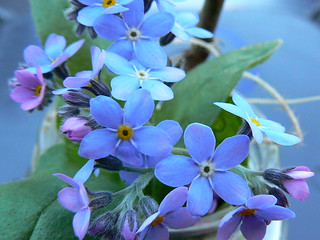 Forget-me-nots. | by cazstar