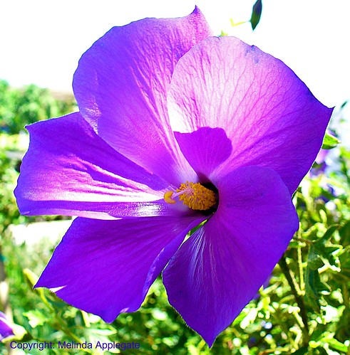 purple hibiscus casablanca how many miles to babylon Purple hibiscus: novel: 2-- how many miles to babylon: novel: 2--jennifer miller: the many contributions of german scientists-peter wohlleben.