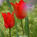red tulips with bokeh