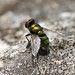 Green Bottle Fly (Lucilia sp.)